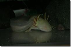 axolotl_pie